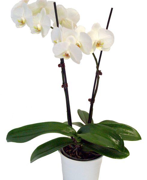 Orquídea blanca base de cerámica.
